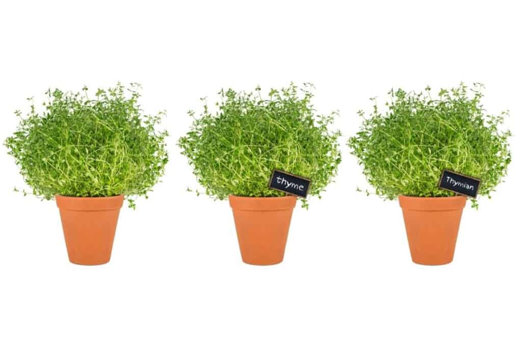 3 thyme plants in clay pots
